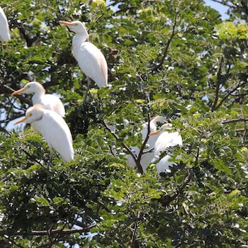 Birds at Floating Corobici River in Guanacaste